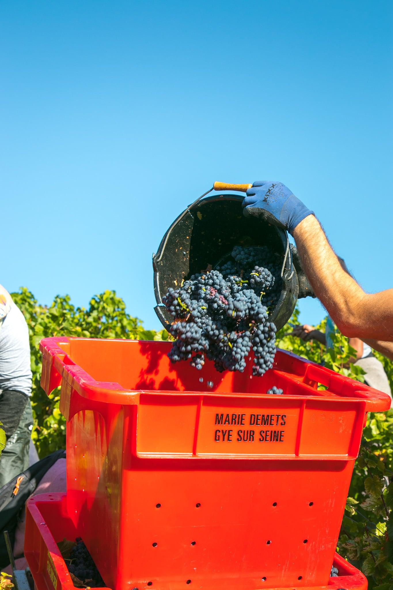 Pinot Noir Druiven oogsten - jeromeschampagne.nl